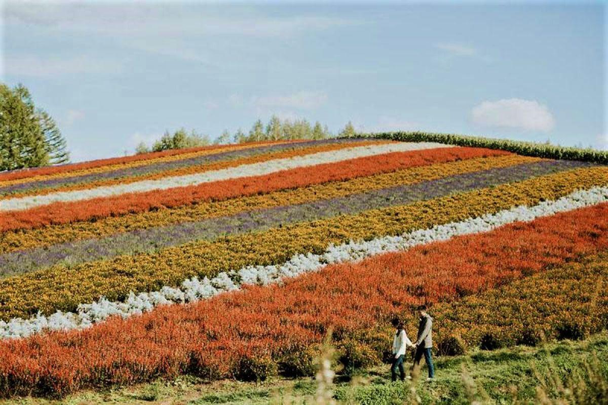 Biei flower farm